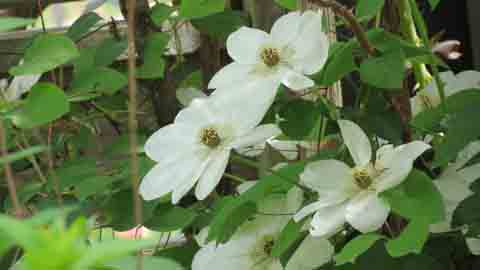 White Clematis Plant Flower