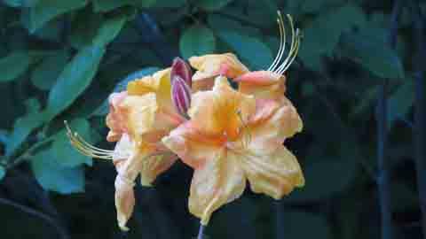 Azaleas Shrub Flower
