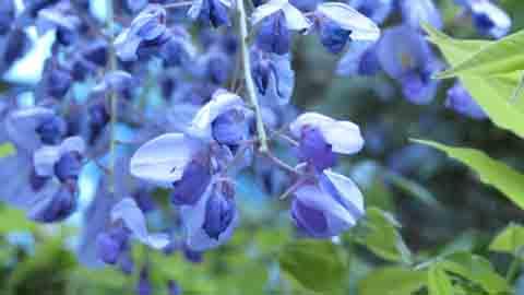 flores de color púrpura de las glicinias del árbol