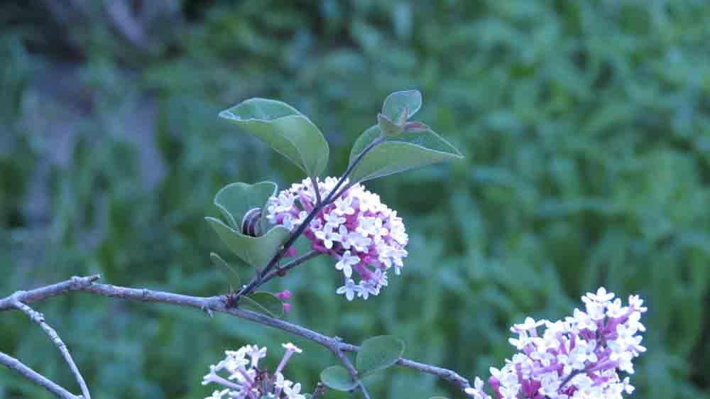 Llilac arbre fleur
