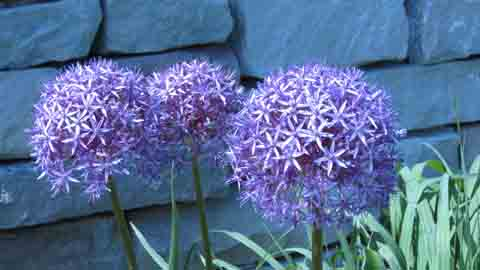 Allium Purple Onion Flower, Ornamental Flowering Onions