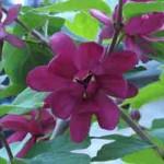 البهارات شجيرة الزهور صورة