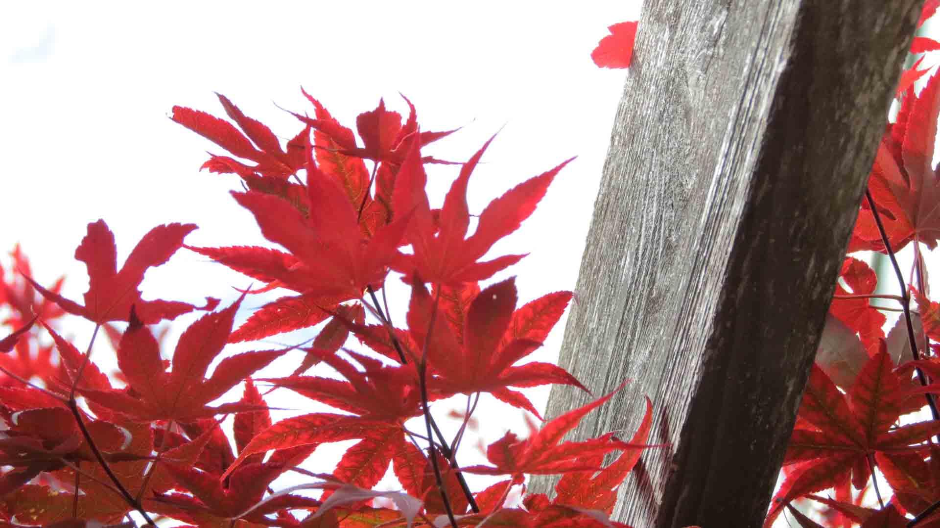 شجرة القيقب اليابانية