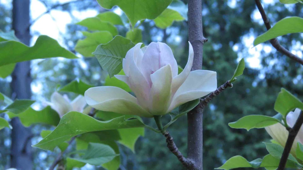 Magnolia Flower Tree, le type de floraison est Sunset Magnolia