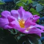 روز الشجيرة الزهور صورة