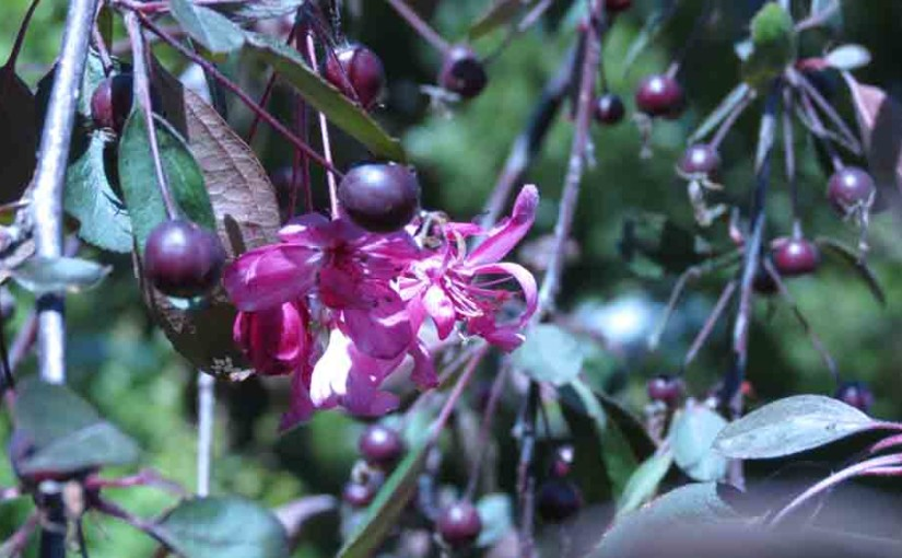 Crabapple Tree Flower and Fruit