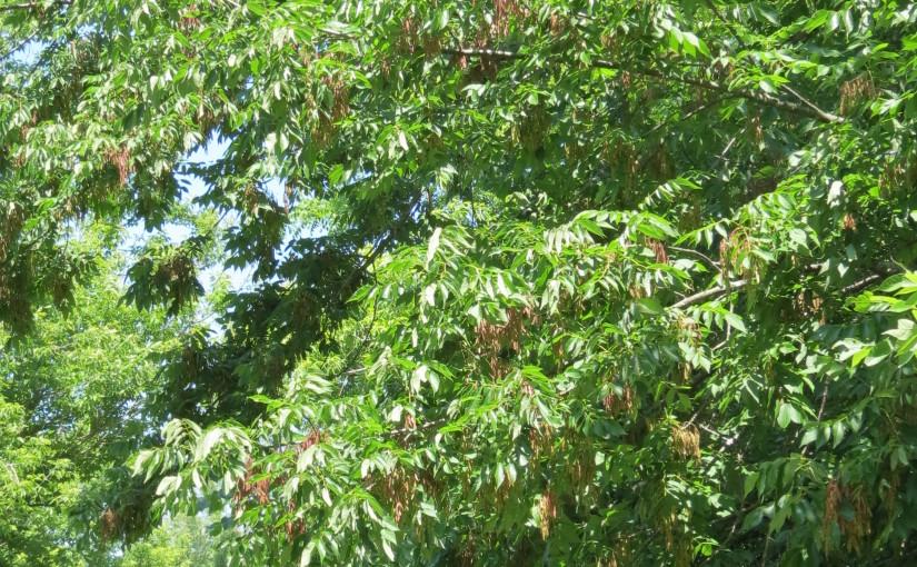 خاکستر درخت