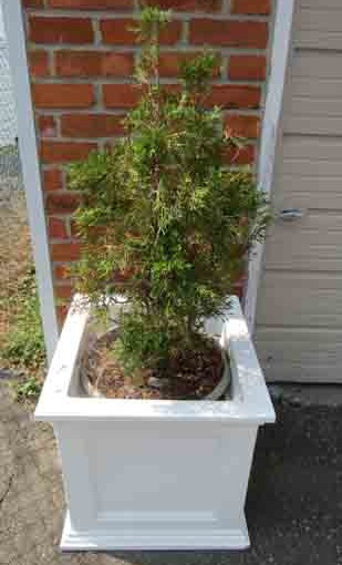 Potted Cedar Tree