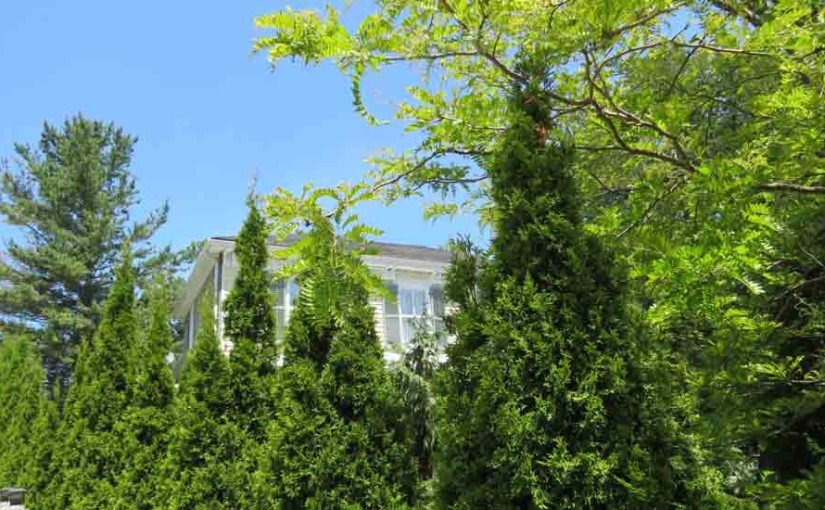 Cedars pyramidal