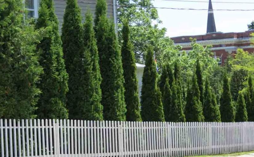 Cedar Pokok