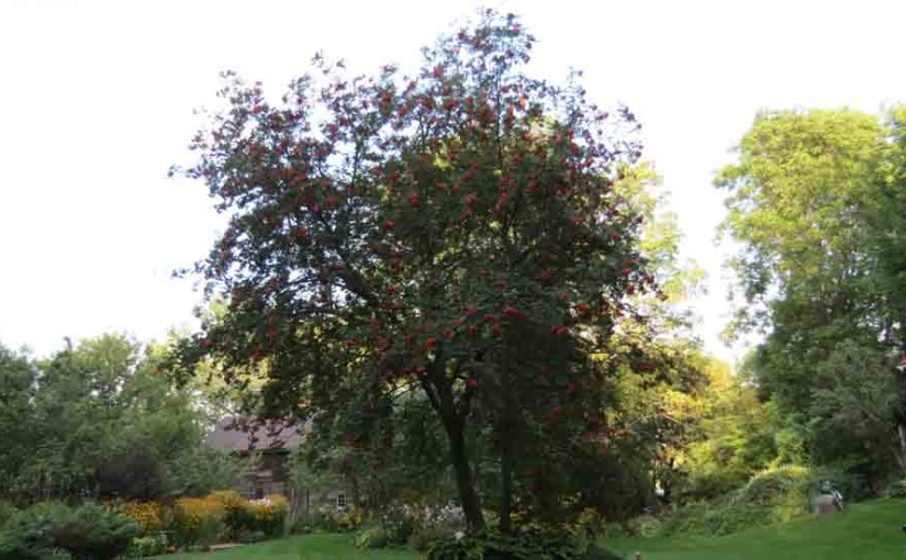 Mountain Ash arbre