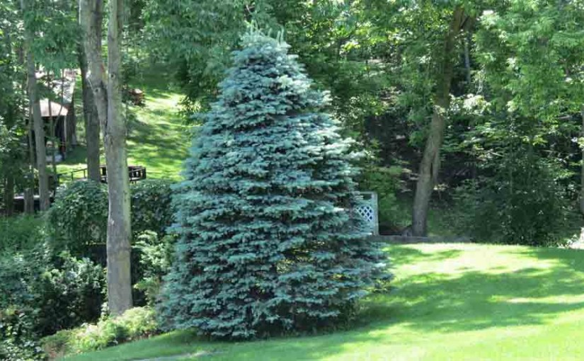 Spruce Blue Tree