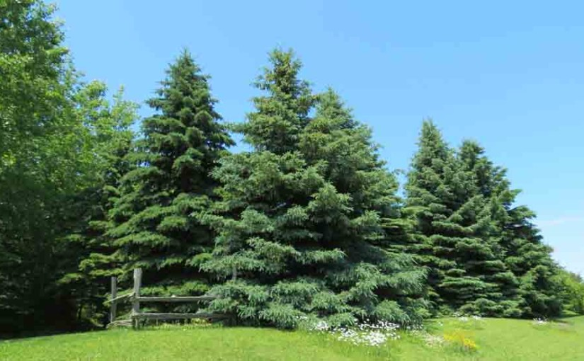 Spruce Trees White