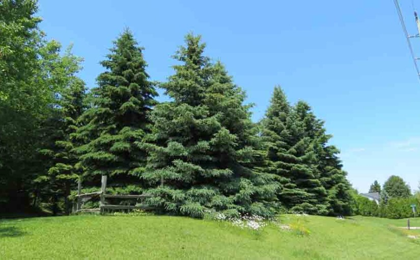 White Spruce Tree Type