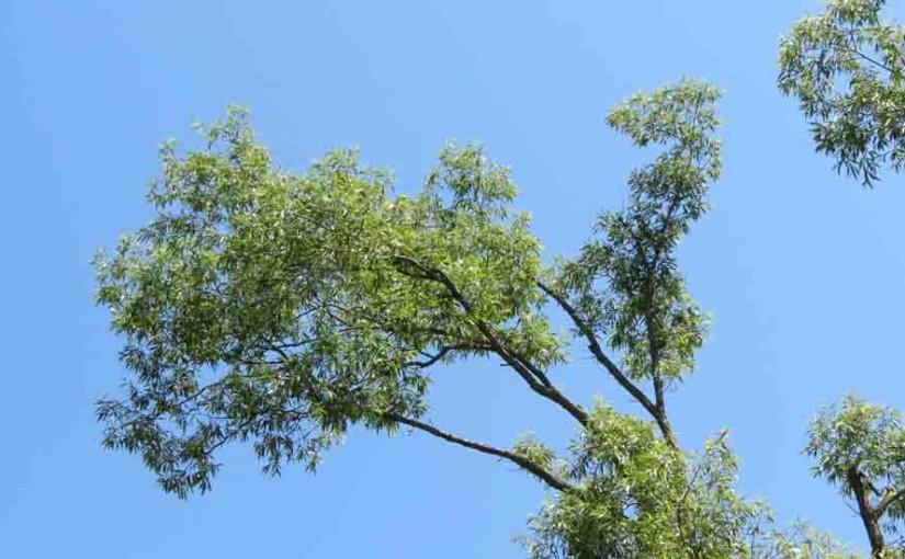 Imagen del árbol de sauce