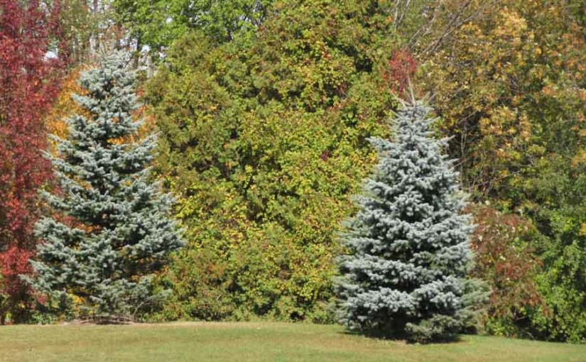 2 Blue Spruce Trees