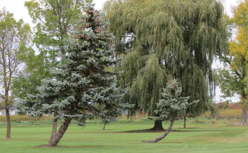 2 Spruce Trees