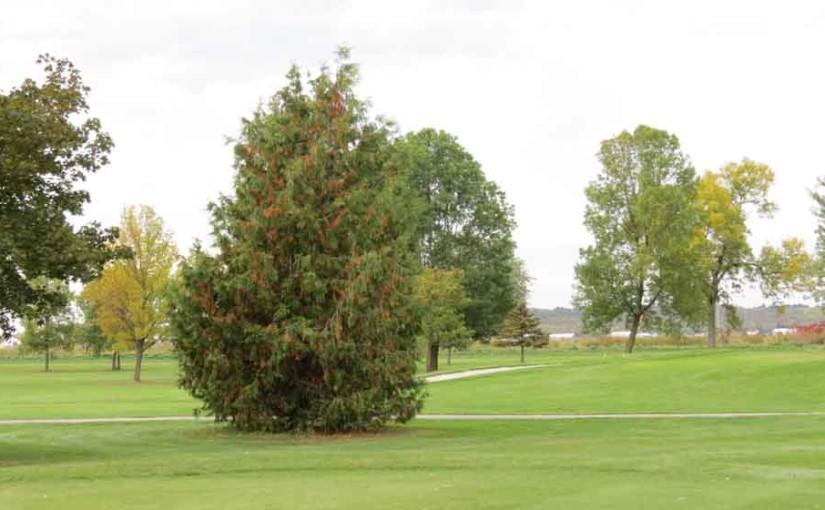 سرو درخت