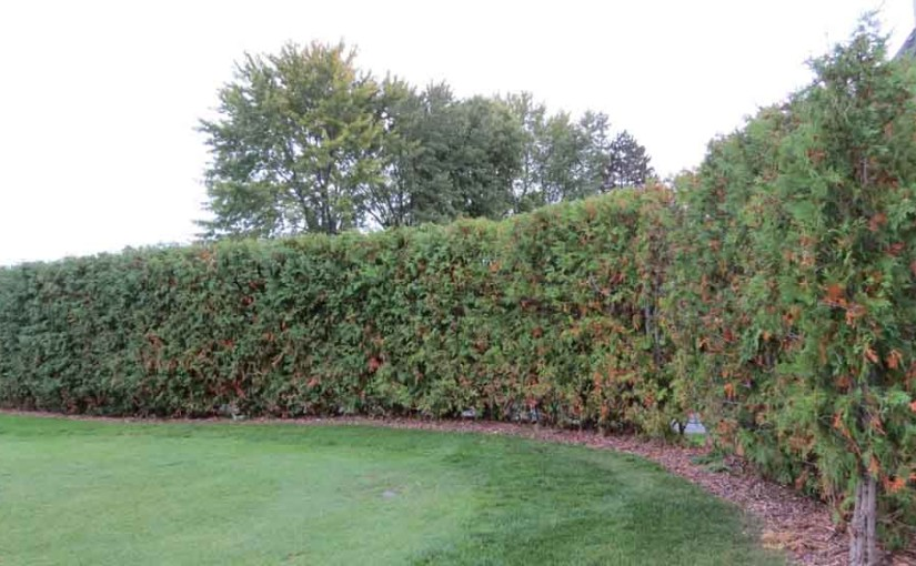 8ft Cedar Confidentialité Hedge