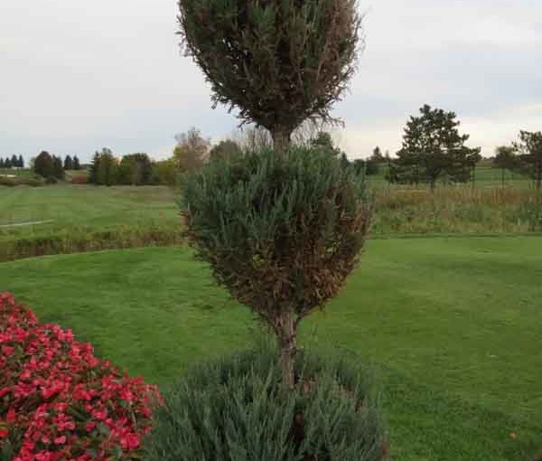 Juniper Tree Topiary