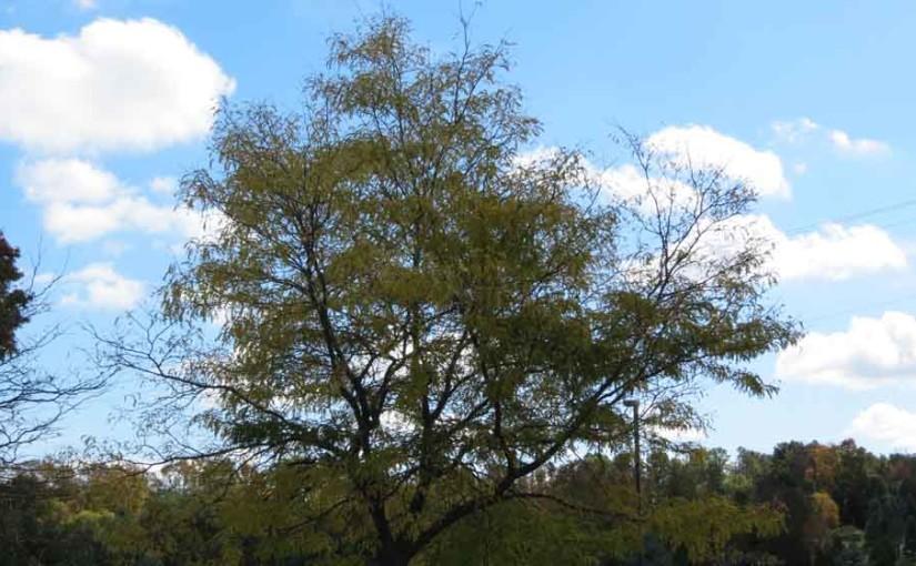 Locust arbre à miel Variété