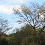 Image d'automne de miel locust tree variété.