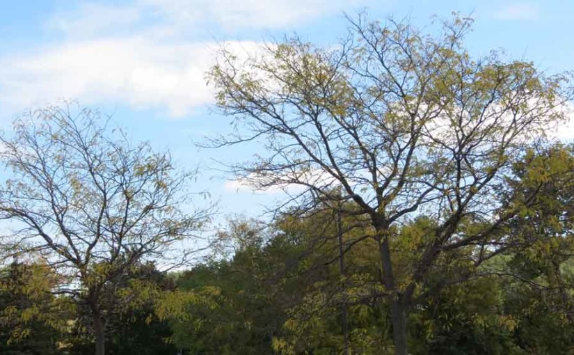 Autumn picture of honey locust tree variety.
