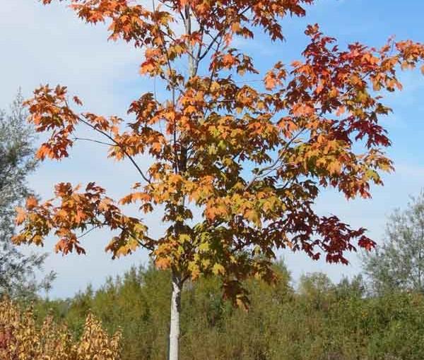 لماذا زرع شجرة القيقب؟