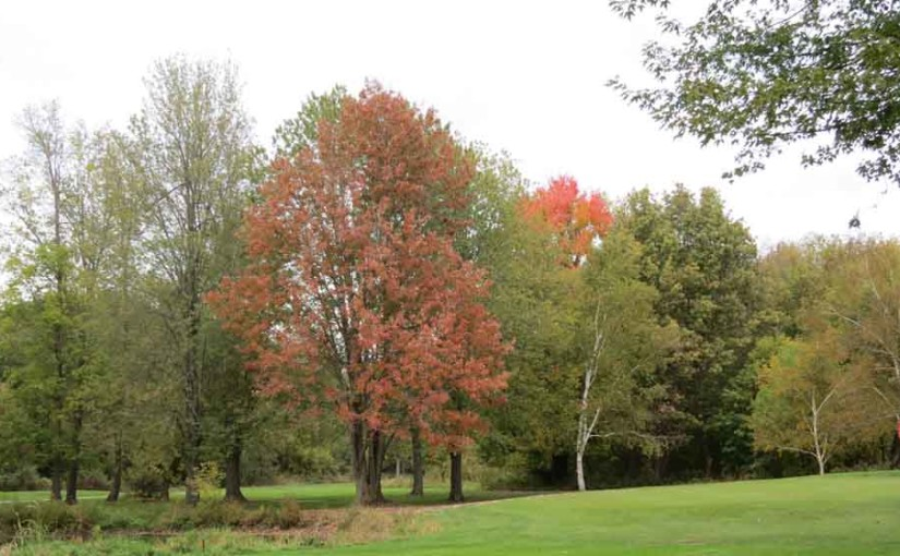 Red Maple Tree Type