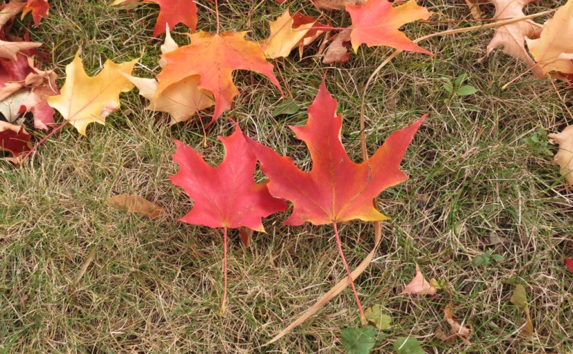 2 Red Maple Leafs