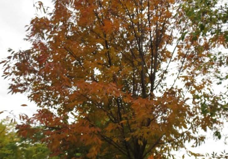 Ash Tree Avrupa