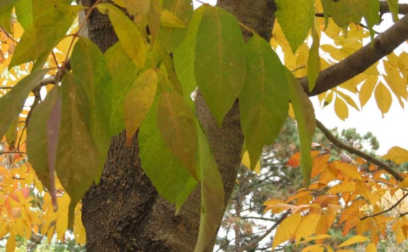 خاکستر برگ درخت