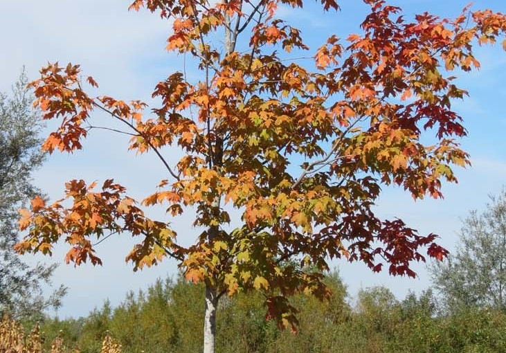 الخريف القيقب