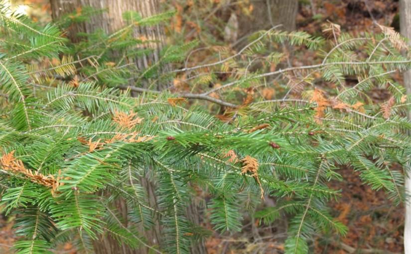 Balsam Tree Needles