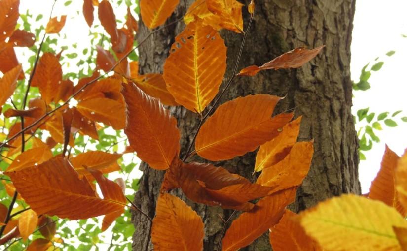 راش برگ درخت آمریکا