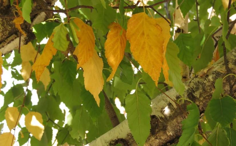 Daun Pokok Birch