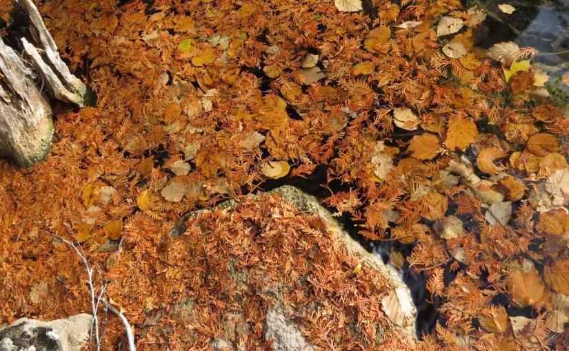Cèdre Feuilles d'automne