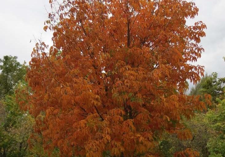 شاه بلوط درخت پاییز