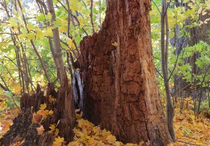 Daun Maple yang jatuh