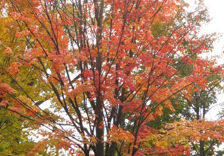 Érable d'automne