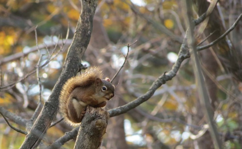 Red Squirrel Forêt
