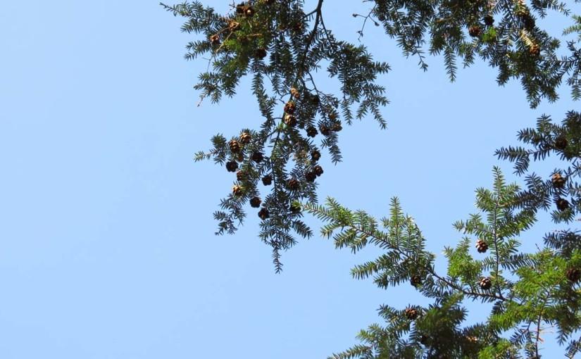 Eastern Hemlock Cones and Needles