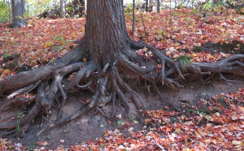 Eastern Hemlock Arbre Roots
