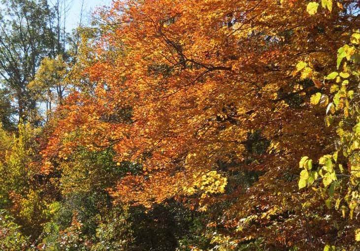 Color del árbol de arce