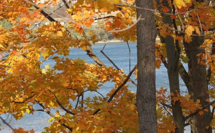شجرة القيقب الألوان