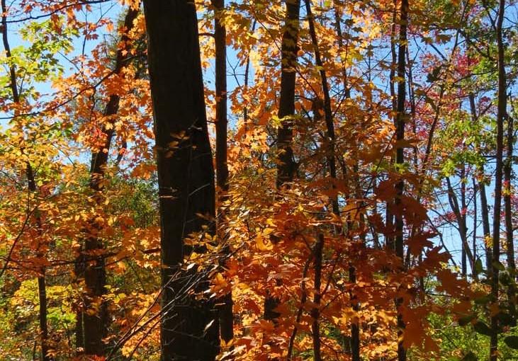 Bosque de arce en el otoño