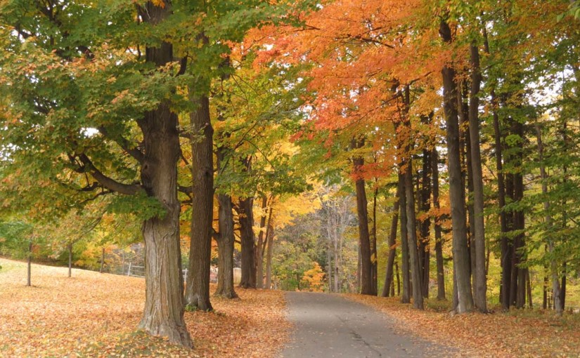 Maple Tree Driveway
