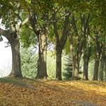 Maple Tree Driveway Landscape