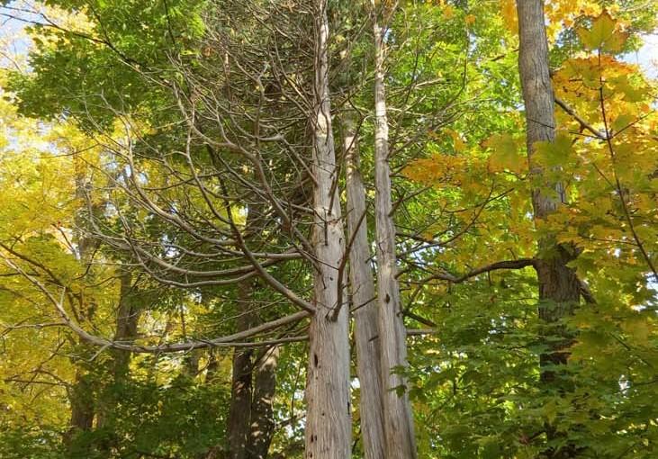 Old Trees Cedar