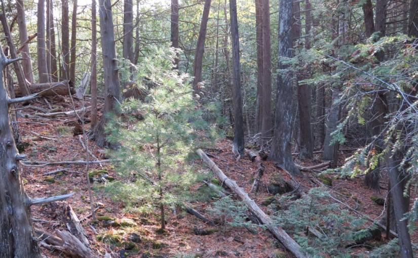 Árbol de pino blanco